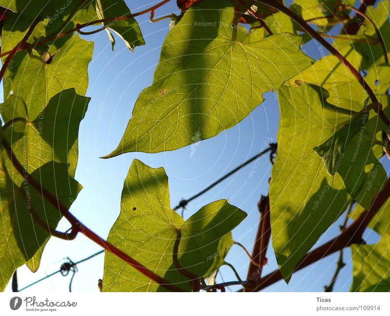 Sky Green Leaf Vine Vineyard Wine growing