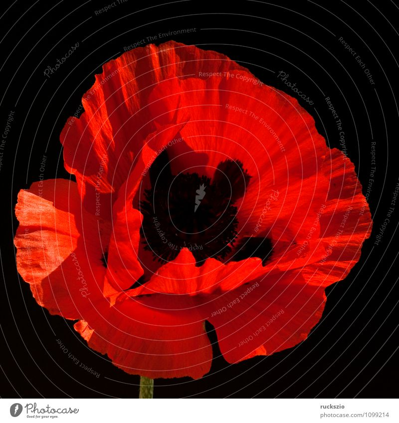 Turkish; poppy seed; papaver; oriental; Nature Plant Flower Blossom Garden Free Red Black Turkey Poppy Turkish poppy Corn poppy Summerflower garden flower