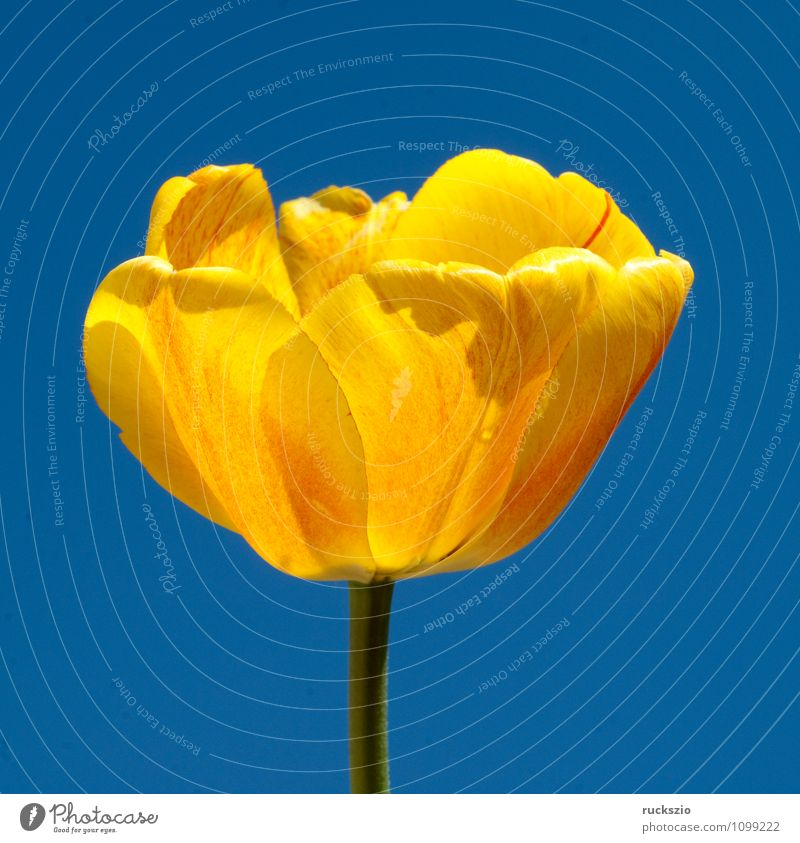 Tulip flower, yellow Nature Plant Spring Flower Blossom Garden Blossoming Free Blue Yellow Tulip blossom tulipa Spring flower Spring flowering plant