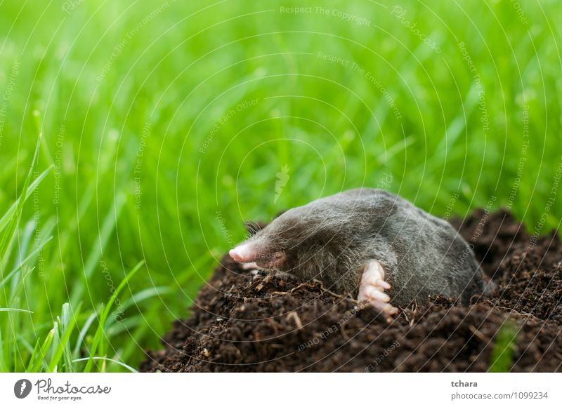 Mole out of hole Nature Animal Black Face Grass Happy Small Garden Earth Wild Wild animal Smiling Ground Mammal Horizontal