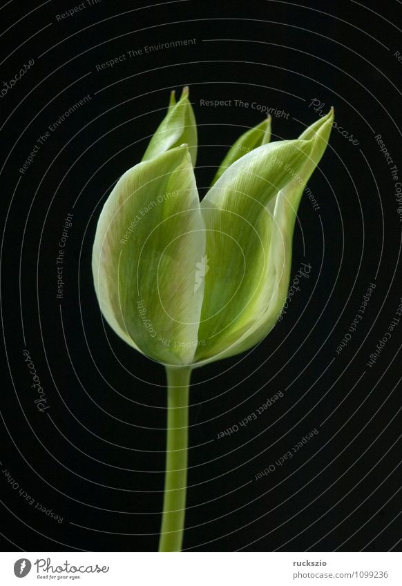 Nature Plant Green Flower Black Spring Blossom Background picture Garden Free Blossoming Still Life Tulip Blow Object photography Flowering plant
