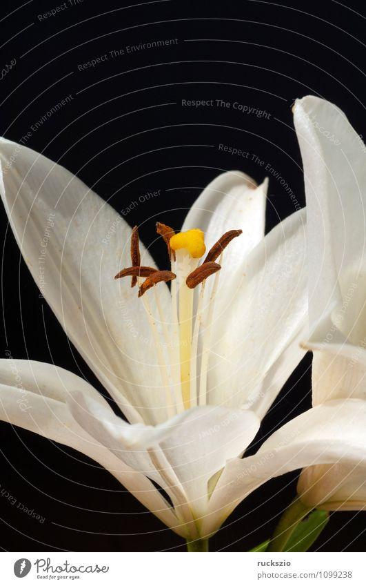 White, lily; hybrid; lily; hybrid; Nature Plant Summer Flower Blossom Garden Free Black Lily Hybrid Summerflower garden flower garden flowers Ornamental plant