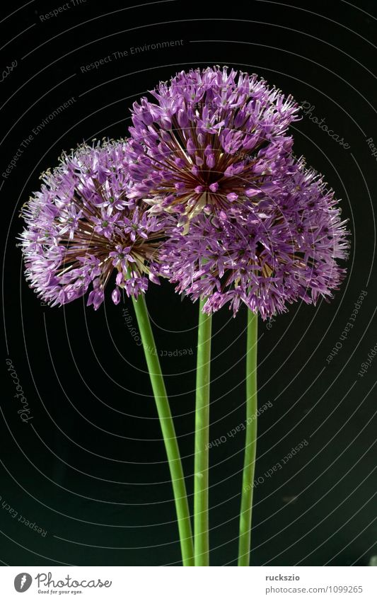 Ornamental garlic, giant garlic, allium, giganteum; Decoration Nature Plant Flower Blossom Violet Black ornamental garlic giant leek Leek Flowerbed