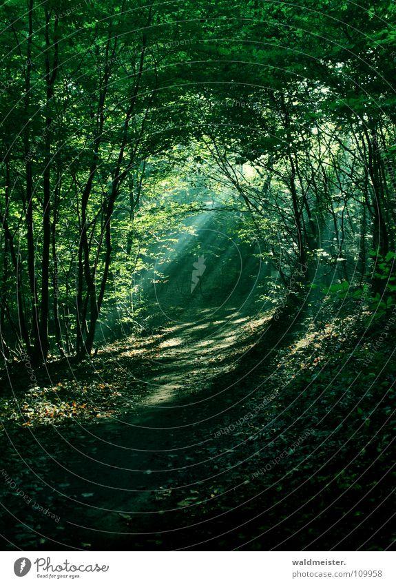 Tree Sun Green Forest Fog Romance Virgin forest Damp Mystic Fairy tale Magic Beam of light Enchanted forest