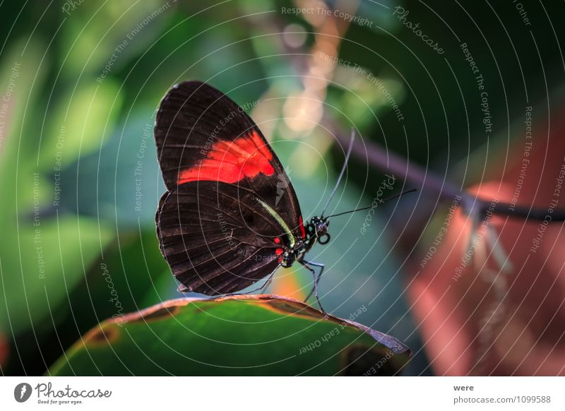 Mr. Postman Nature Animal Butterfly Wing 1 Sit Red Black Colour photo Exterior shot Macro (Extreme close-up)