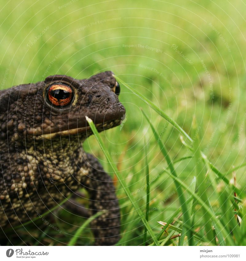 Water Green Animal Eyes Meadow Grass Small Brown Background picture Wild animal Sit Wait Large Tall Stand Lawn