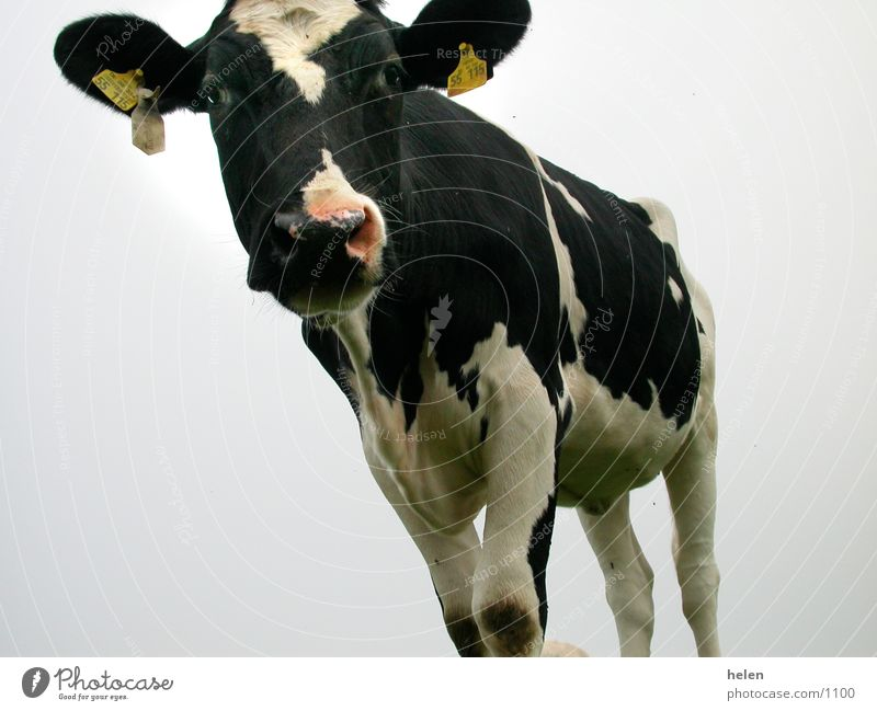dairy cow Cow