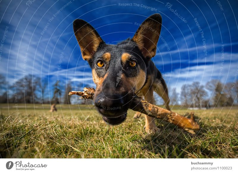 inquisitorial Animal Clouds Grass Pet Dog 1 Wood Playing Blue Brown Green Black White eyes Crossbreed Snout Stick Mammal Sky Colour photo Exterior shot Close-up