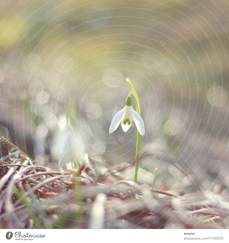 Tender little bell Science & Research Botany Biology Environment Nature Plant Spring Climate Climate change Flower Blossom Snowdrop Spring flowering plant