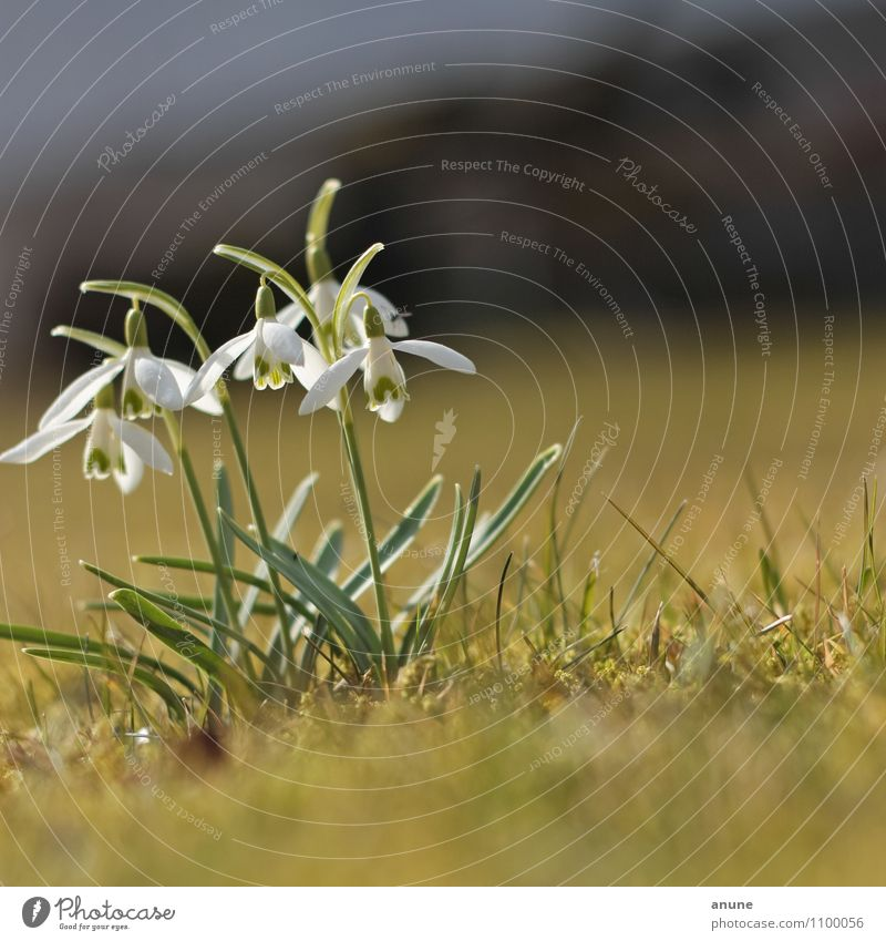 Snowy bells Science & Research Biology Botany Environment Nature Plant Spring Climate Climate change Beautiful weather Flower Blossom Wild plant Alkaloid