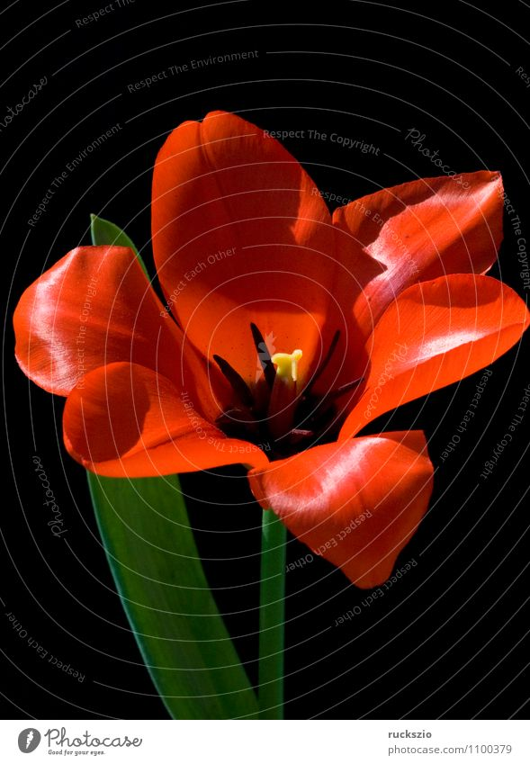 Nature Plant Red Flower Black Spring Blossom Background picture Free Blossoming Still Life Tulip Blow Object photography Flowering plant Neutral