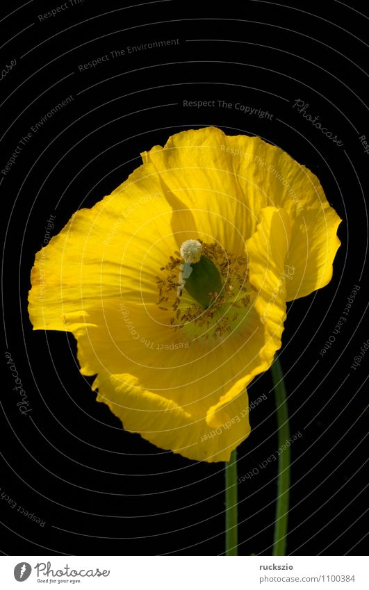 Poppy seed, Meconopsis, cambrica, Nature Plant Flower Blossom Blossoming Free Yellow Black poppy seed poppy wax golden yellow lemon yellow Penumbra