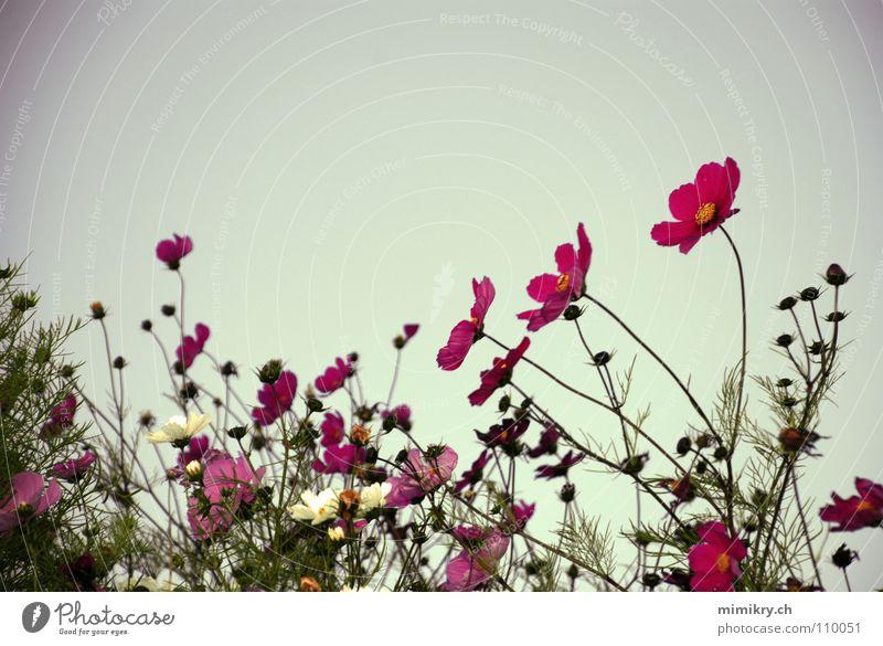 Sky Green Plant Summer Flower Blossom Garden Pink Growth Romance Idyll Blossoming Delicate Dusk Bud Garden plot
