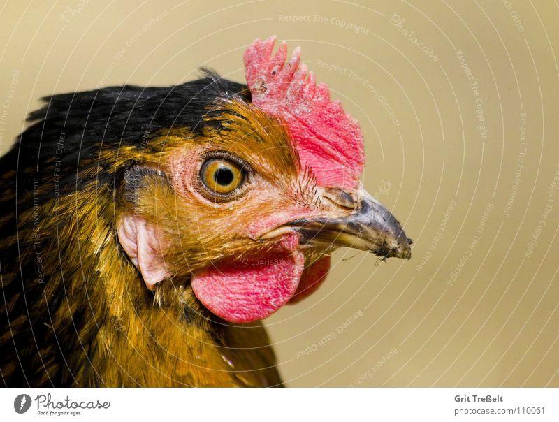 Cockerel Portrait Rooster Barn fowl Animal Farm animal Pet Bird Wing
