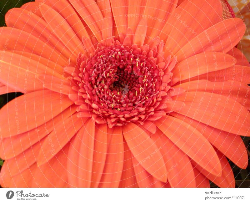 Flower Orange Gerbera