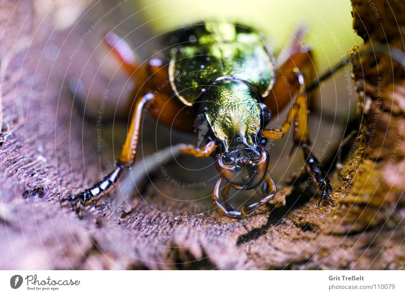 ground beetle Insect Green Beetle Walking Macro (Extreme close-up) Nature Flying