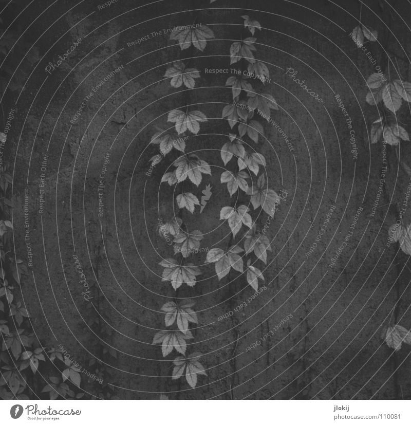 Herbe Romantik Leaf Paper chain Embellish Grave Tomb Autumn Wall (barrier) Hang Growth Plant Jewellery Creeper Tendril Seasons Black & white photo Derelict End