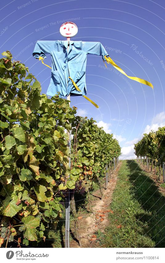 scarecrow Plant Field Creepy Hideous Blue Green Scarecrow Vineyard frighten away bird defense Autumnal Colour photo Exterior shot Deserted Day Worm's-eye view