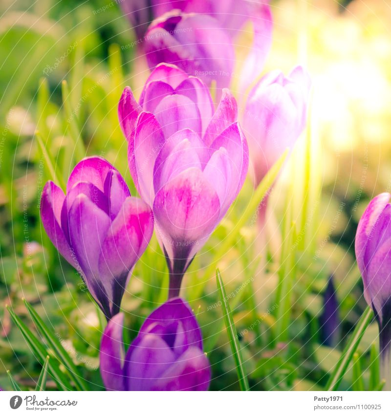 crocus Easter Spring Flower Crocus Montbretia Blossoming Beautiful Green Violet Nature Growth Colour photo Exterior shot Day