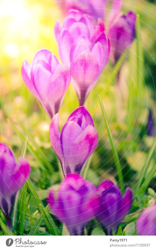 Nature Plant Beautiful Green Flower Spring Blossoming Beautiful weather Easter Violet Crocus Montbretia
