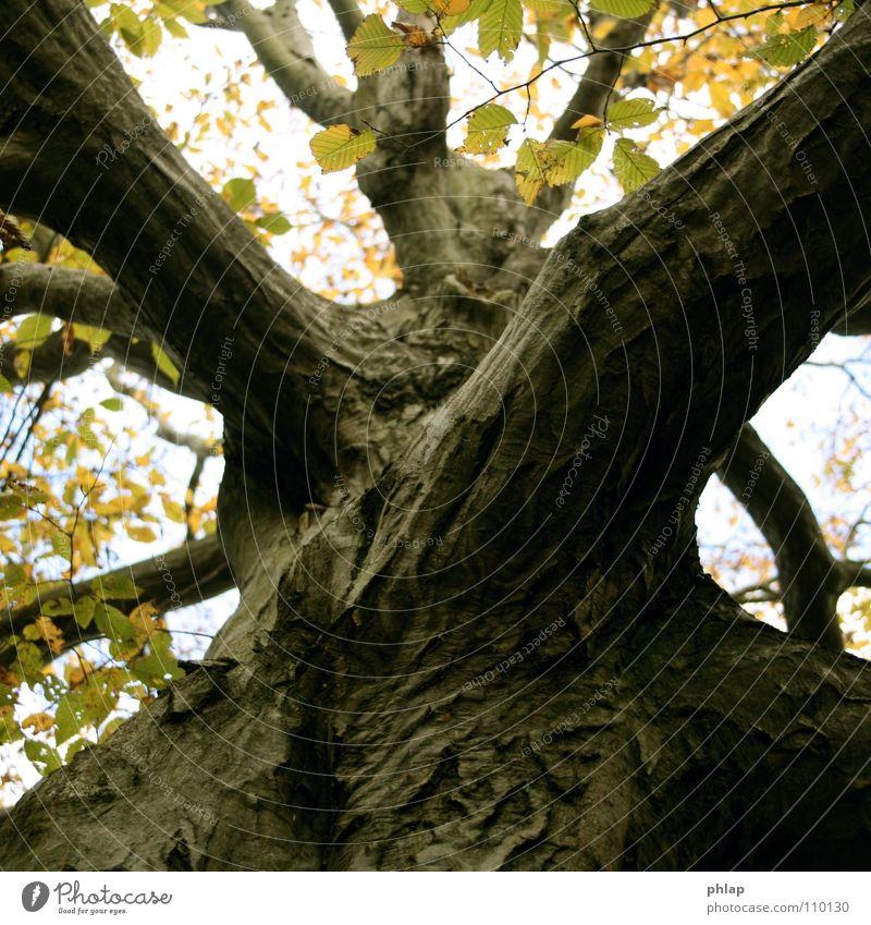 autumn diagonal Tree Wood Beech tree Leaf Autumn Diagonal Geometry Yellow Brown Beautiful Treetop Tree trunk Sky Shadow