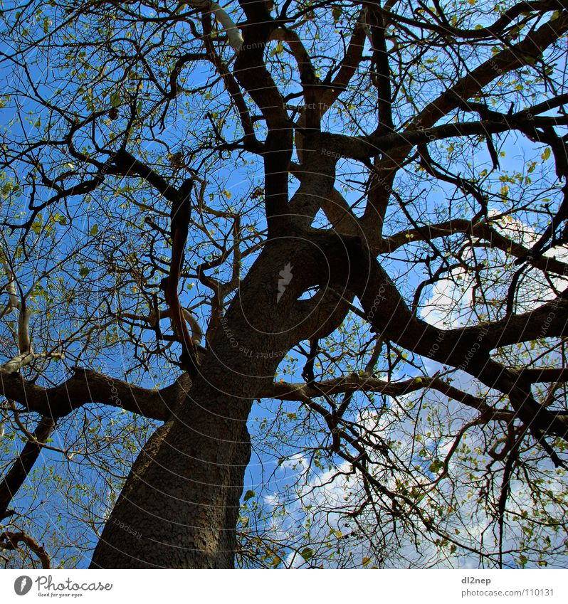 Sky Tree Blue Africa Twig Muddled Branched Masai Mara