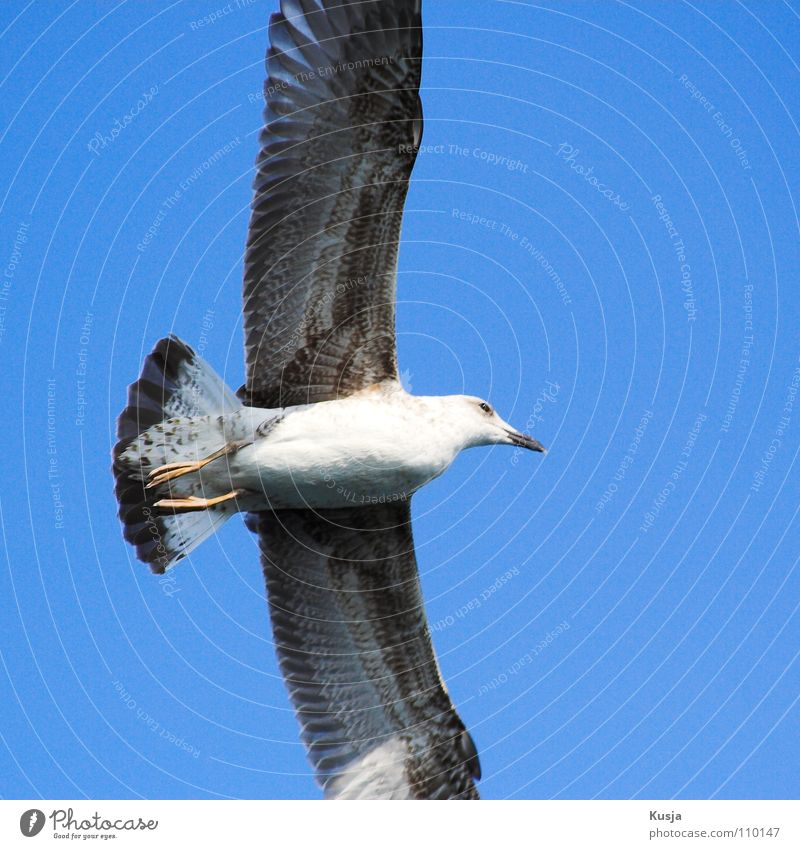 Blue White Black Bird Flying Walking Wing Hunting Sailing Seagull Fishing (Angle) Hover Curve Blow Pull Turkey