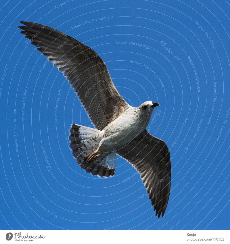Sky Blue White Ocean Bird Flying Walking Wing Hunting Sailing Seagull Hover Curve Blow Pull Turkey