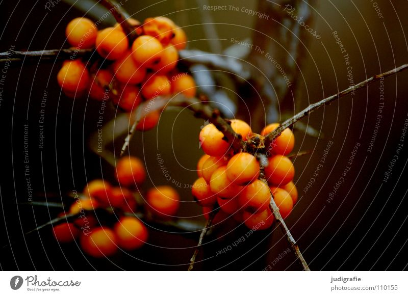 autumn Plant Bushes Vitamin C Environment Brown Colour willow thorn Berries Point Twig only Orange Sallow thorn
