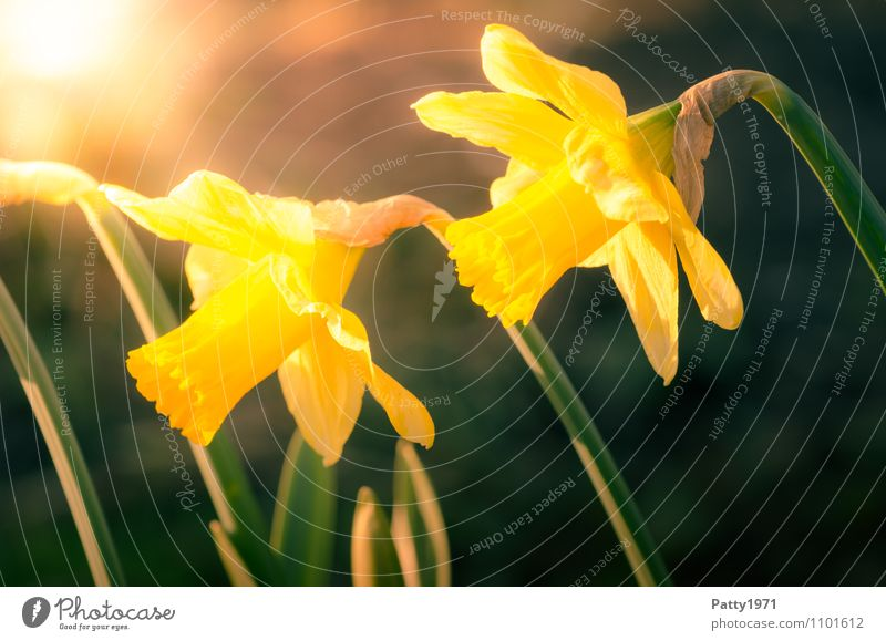Nature Plant Beautiful Green Flower Yellow Spring Blossoming Easter Narcissus Wild daffodil