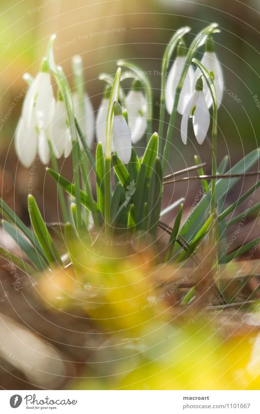 snowdrops Snowdrop White Green Spring flowering plant Meadow Blossom Sun Warmth Winter End Yellow hoods Blossom leave Delicate Bud Wake up Nature Plant Natural