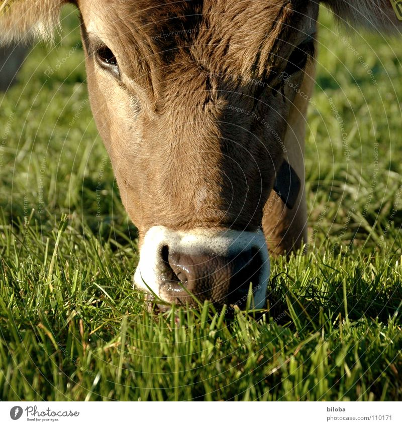 Animal Eyes Cold Grass Brown Wet Nose Forwards Agriculture Damp Cow Breathe To feed Effort Snout Calf