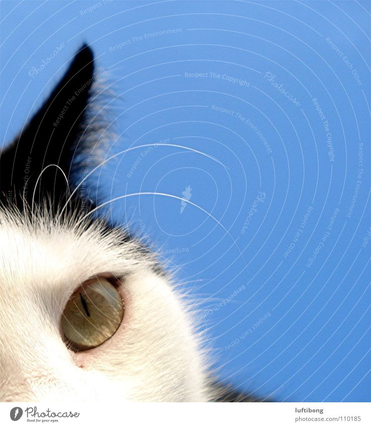 Blue White Beautiful Cat Black Animal Eyes Looking Happy Authentic New Threat Cute Observe Animal face
