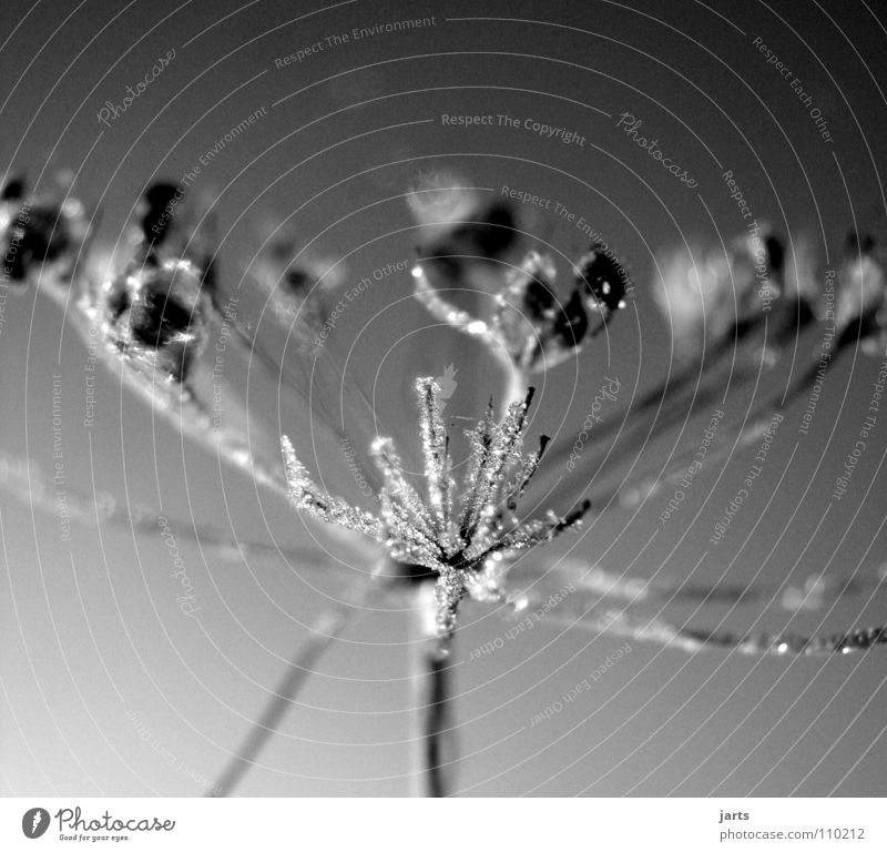 iced Flower Cold Winter Ice crystal Frozen Meadow Black & white photo Frost Crystal structure jarts Water Rope
