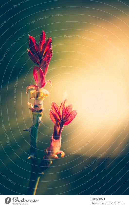 Towards the sun... Plant Spring Rose Leaf Twig Rose leaves Growth Fresh Thorny Red Beginning Nature Colour photo Exterior shot Copy Space right Twilight