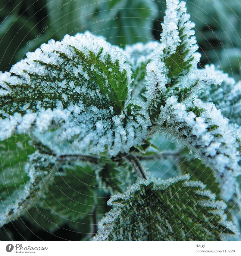 Close-up of ice crystals on nettle leaves Winter Freeze Frozen Cold Ice crystal Stinging nettle Leaf Plant Green White Frost Nature Snow Medicinal plant Weed