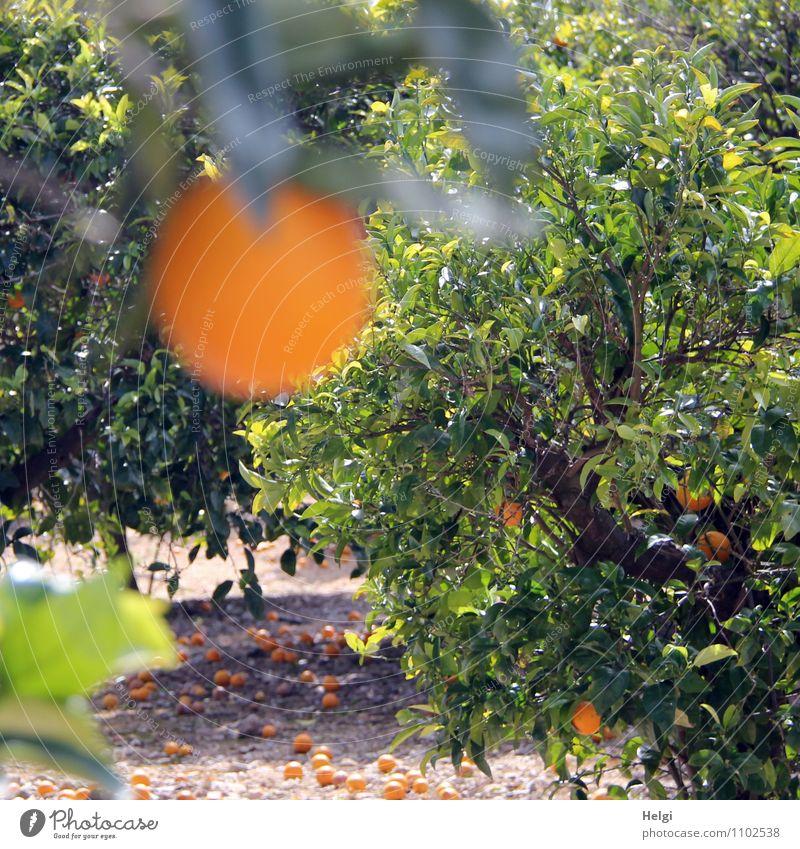 mature... Food Fruit Orange Environment Nature Landscape Plant Spring Beautiful weather Tree Leaf Agricultural crop Orange tree Orange plantation Island Majorca