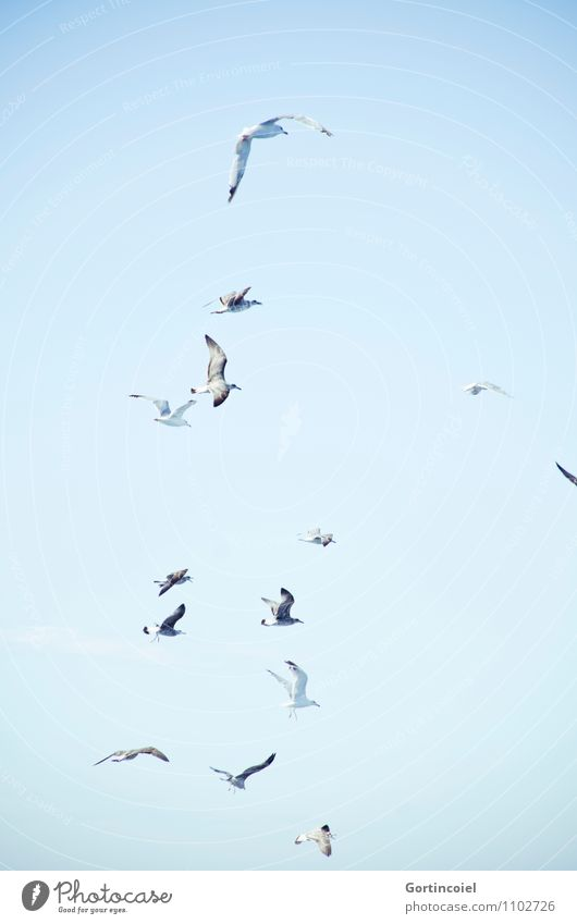 gulls Sky Cloudless sky Wild animal Bird Wing Group of animals Flock Blue Maritime Seagull Gull birds Flock of birds Sea bird Ocean Cote d'Azur Southern France
