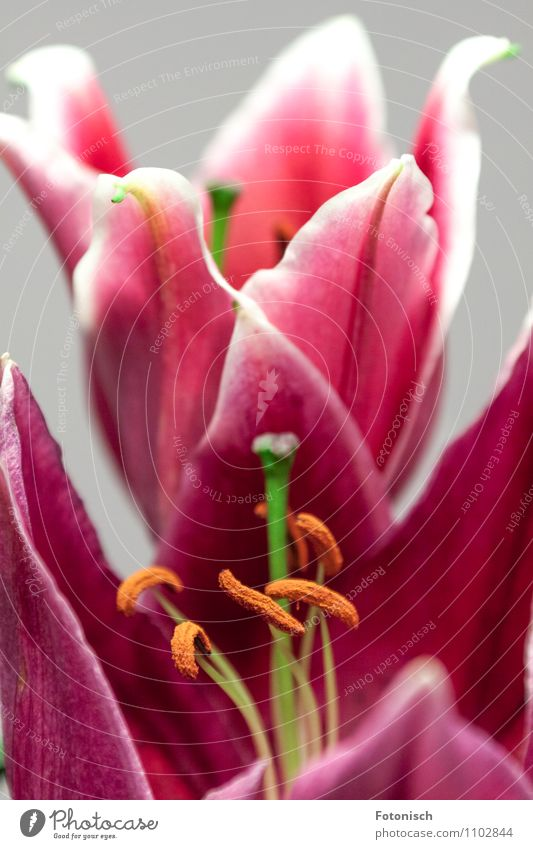 Pink Lilies Plant Spring Lily Loyalty Romance Seed Colour photo Studio shot Detail Copy Space top Shallow depth of field
