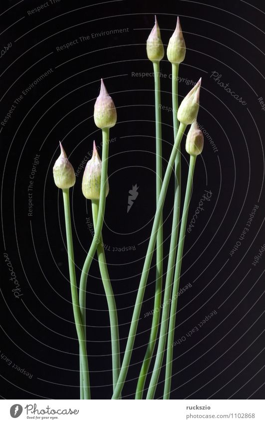 Ornamental garlic buds, allium, bud, Decoration Nature Plant Flower Garden Violet Black ornamental garlic buds Leek giganteum Flowerbed garden flower