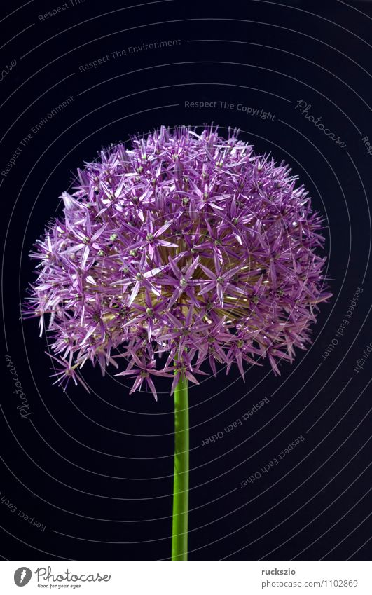 Nature Plant Black Blossom Background picture Garden Free Blossoming Violet Asia Still Life Object photography Bulb Onion Neutral Leek