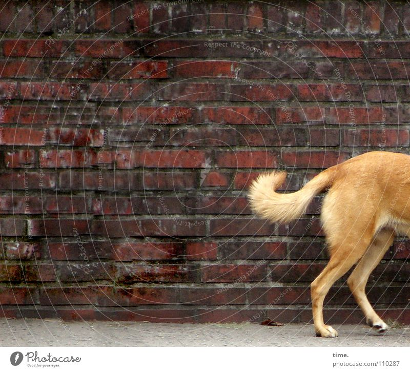 Red Street Wall (building) Dog Stone Wall (barrier) Brown Blonde Brick Traffic infrastructure Odor Mammal Tails Paving tiles Crooked Creep