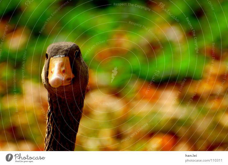 Bird Curiosity Neck Beak Goose Amazed Roasted goose