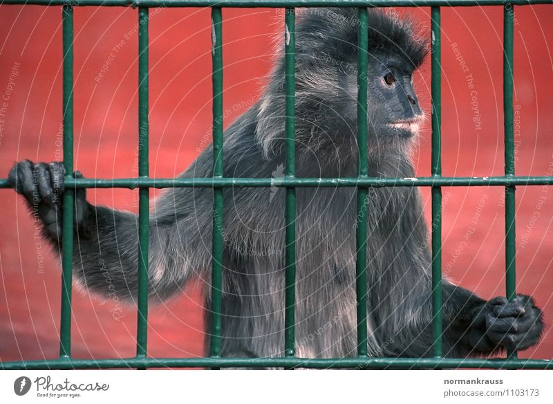 behind bars Animal Pelt 1 Observe Cute Compassion Boredom Monkeys Young monkey Zoo Cage monkey cage Grating Jail sentence Captured Colour photo Exterior shot