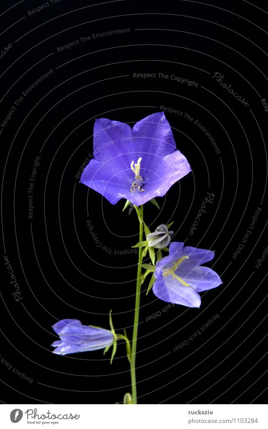 Roundleaf Bellflower, Campanula rotundifolia Nature Plant Blossom Wild plant Blossoming Free Blue Black round-bladed triggers Bluebell Meadow flower