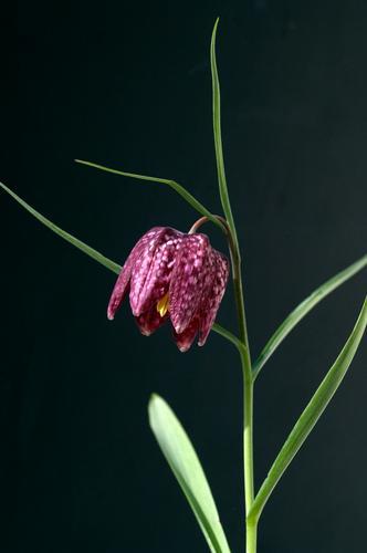 Checkerboard flower; Fritillaria meleagris; Nature Plant Spring Flower Blossom Blossoming Free Violet Black Snake's head fritillary fritillaria