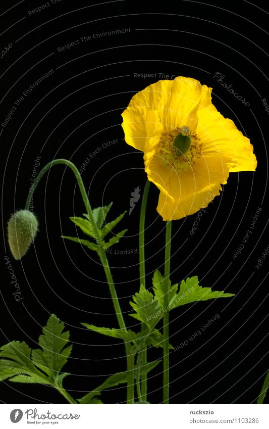 Poppy seed, Meconopsis, cambrica, Nature Plant Flower Blossom Blossoming Free Yellow Orange Black poppy seed poppy wax golden yellow lemon yellow Penumbra