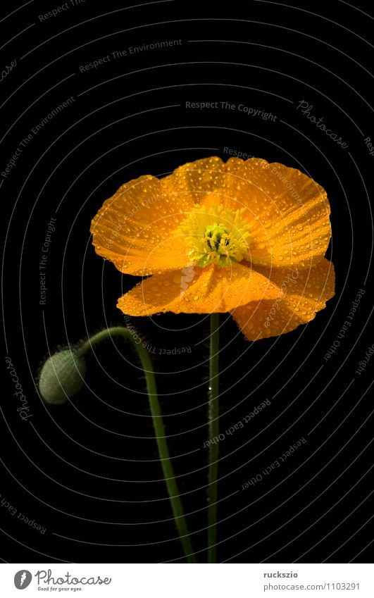 Poppy seed; Meconopsis cambrica, Nature Plant Flower Blossom Blossoming Free Yellow Orange Black poppy seed poppy wax golden yellow lemon yellow Penumbra