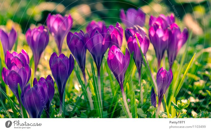 Nature Plant Green Beautiful Flower Spring Blossoming Easter Violet Crocus Montbretia