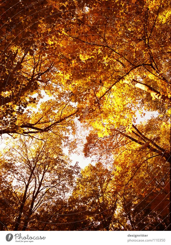 Tree Red Leaf Yellow Colour Forest Autumn Orange Gold To fall Treetop Wood flour